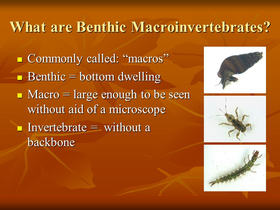 What are Benthic Macroinvertebrates