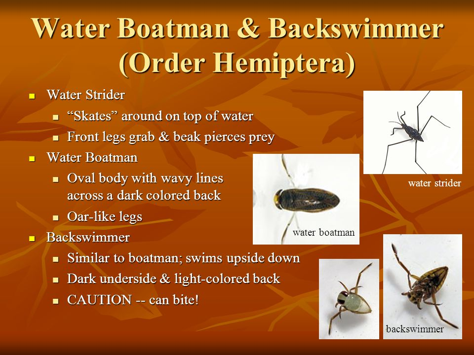 Water Boatman & Backswimmer (Order Hemiptera)