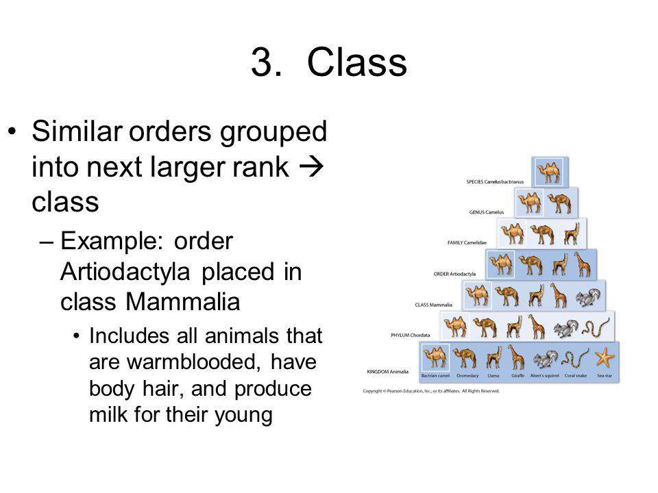3. Class Similar orders grouped into next larger rank  class