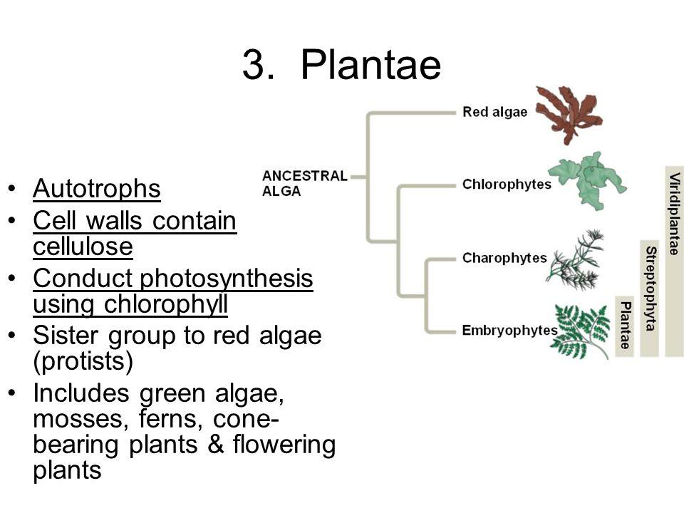 3. Plantae Autotrophs Cell walls contain cellulose