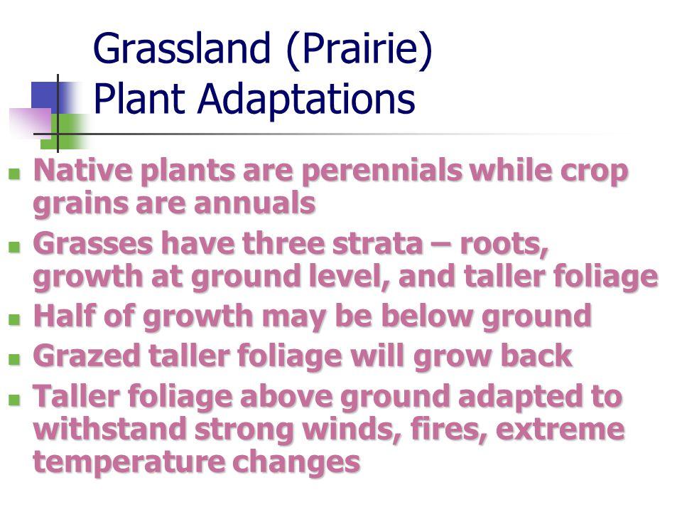Grassland (Prairie) Plant Adaptations