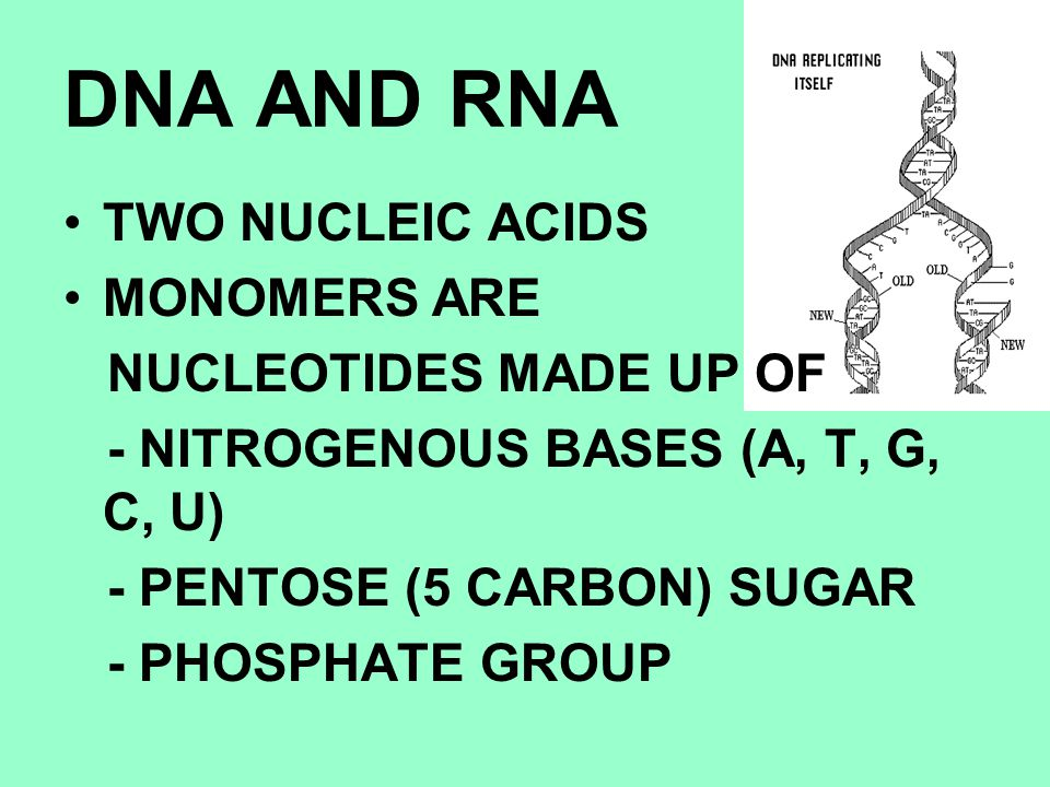 DNA AND RNA TWO NUCLEIC ACIDS MONOMERS ARE NUCLEOTIDES MADE UP OF