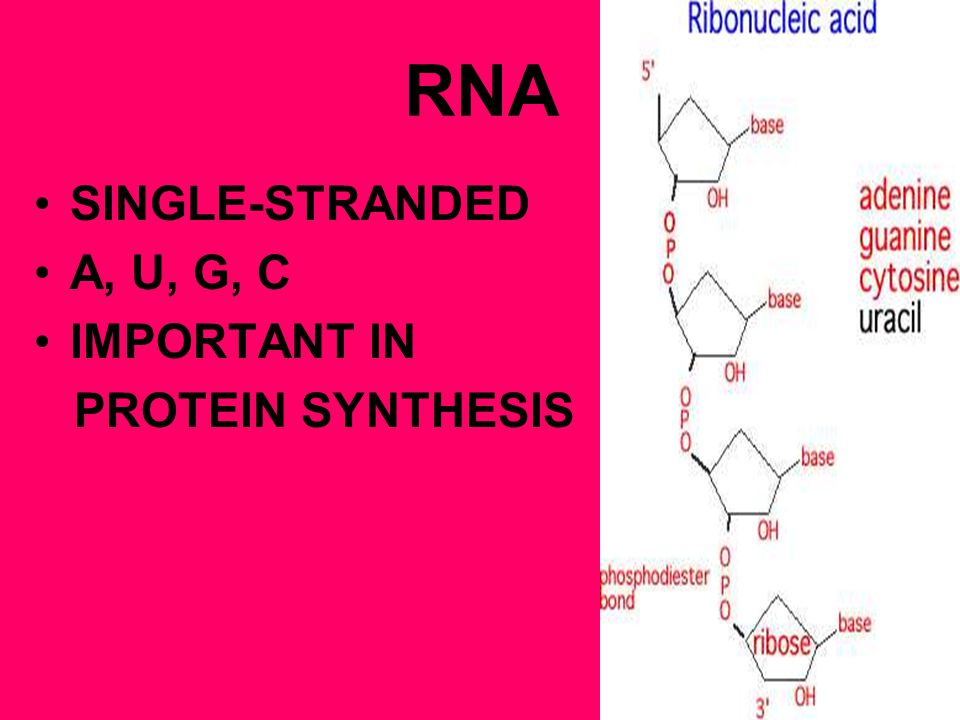 RNA SINGLE-STRANDED A, U, G, C IMPORTANT IN PROTEIN SYNTHESIS