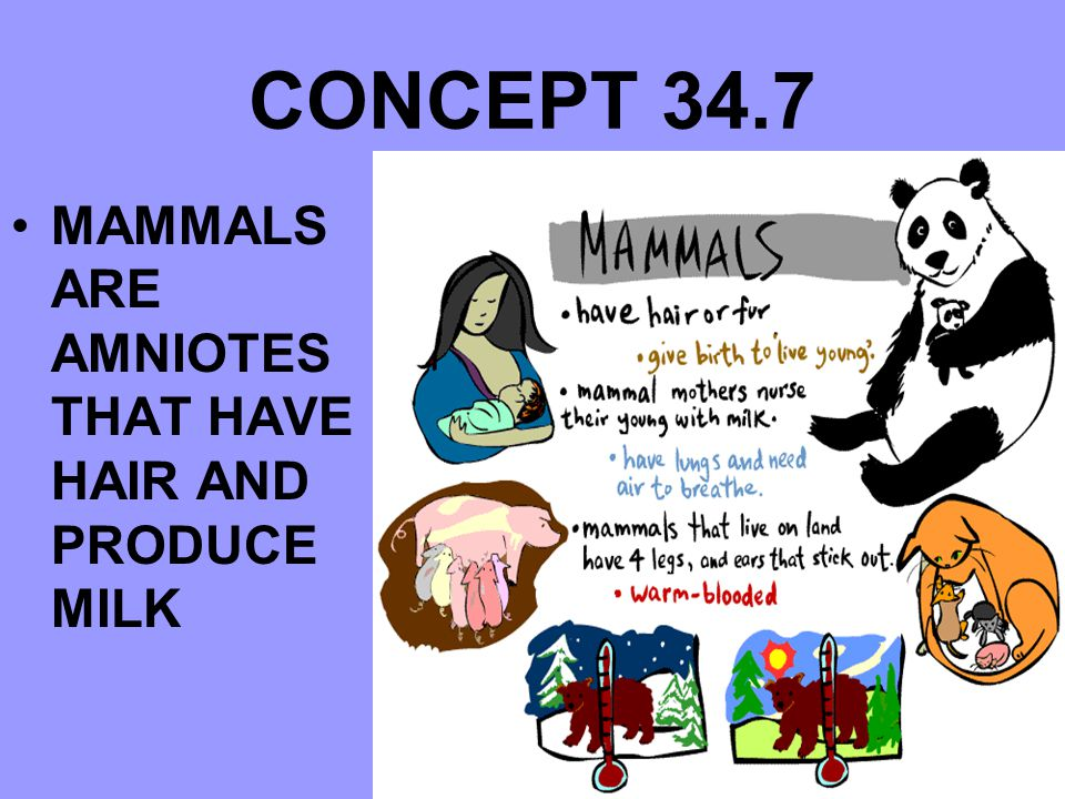 CONCEPT 34.7 MAMMALS ARE AMNIOTES THAT HAVE HAIR AND PRODUCE MILK