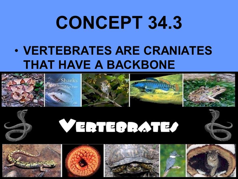 CONCEPT 34.3 VERTEBRATES ARE CRANIATES THAT HAVE A BACKBONE