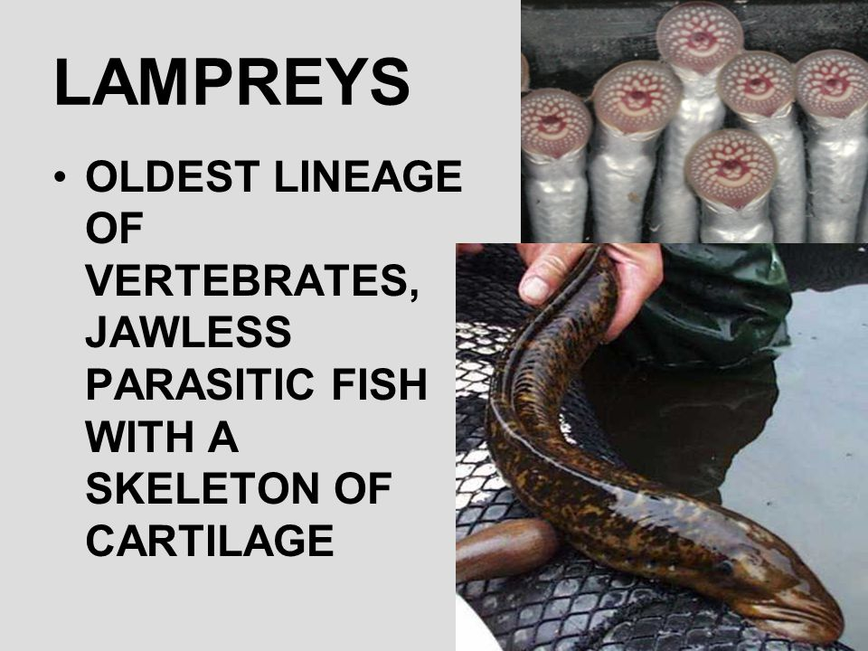 LAMPREYS OLDEST LINEAGE OF VERTEBRATES, JAWLESS PARASITIC FISH WITH A SKELETON OF CARTILAGE