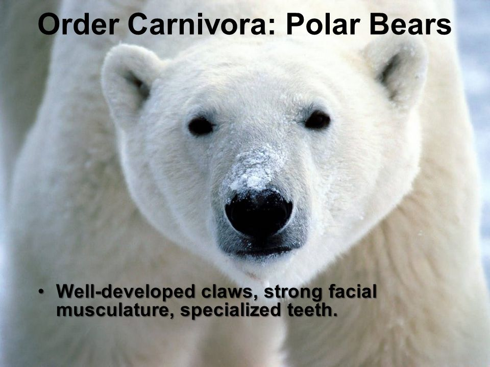Order Carnivora: Polar Bears