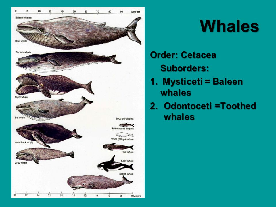 Whales Order: Cetacea Suborders: 1. Mysticeti = Baleen whales