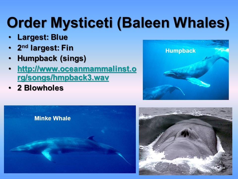 Order Mysticeti (Baleen Whales)