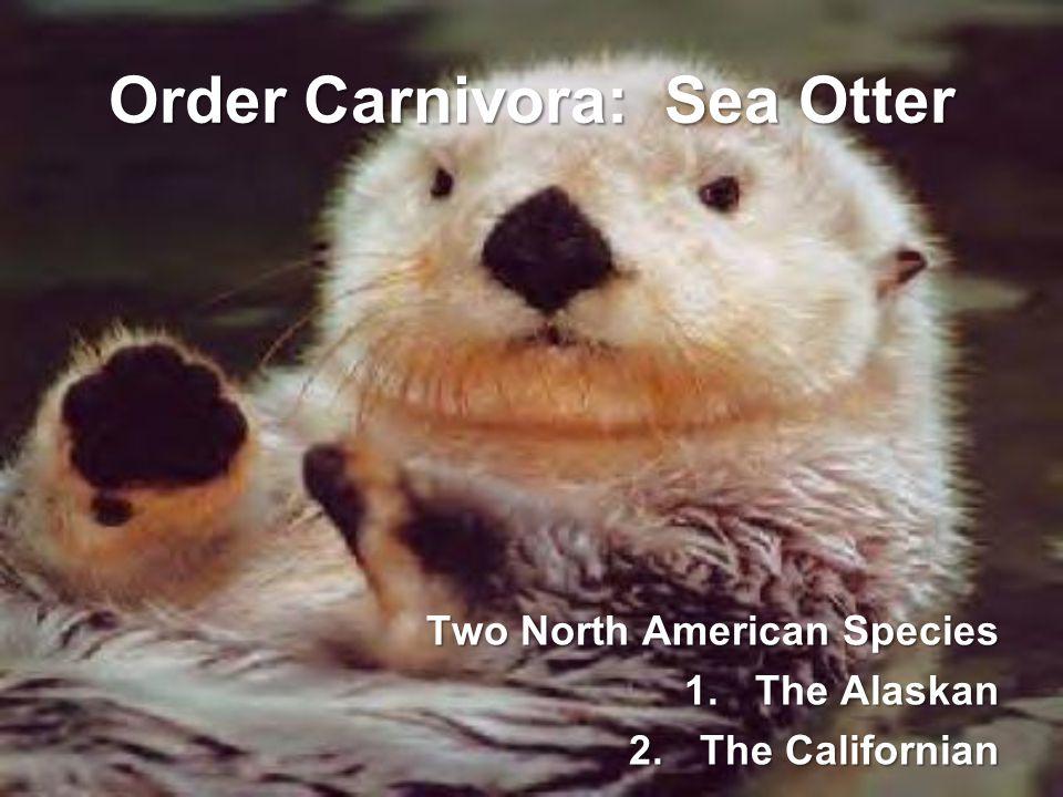 Order Carnivora: Sea Otter