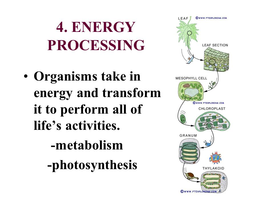 4. ENERGY PROCESSING Organisms take in energy and transform it to perform all of life's activities.