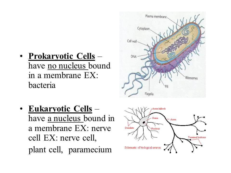 Prokaryotic Cells – have no nucleus bound in a membrane EX: bacteria