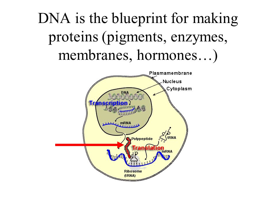 DNA is the blueprint for making proteins (pigments, enzymes, membranes, hormones…)