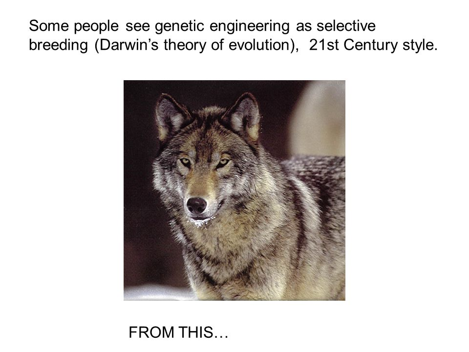 Some people see genetic engineering as selective breeding (Darwin's theory of evolution), 21st Century style.