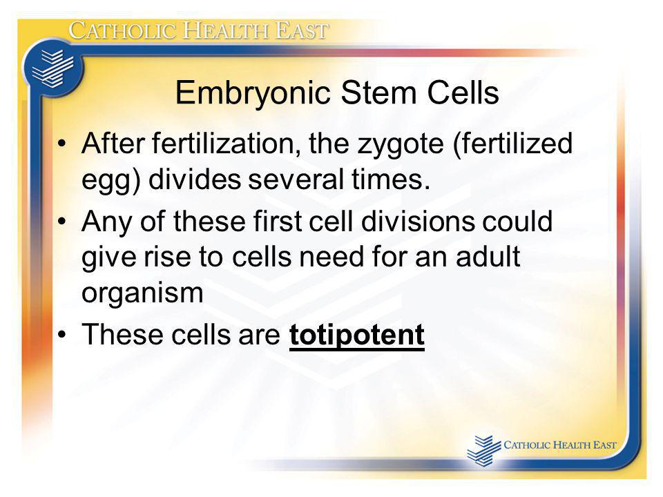 Embryonic Stem Cells After fertilization, the zygote (fertilized egg) divides several times.