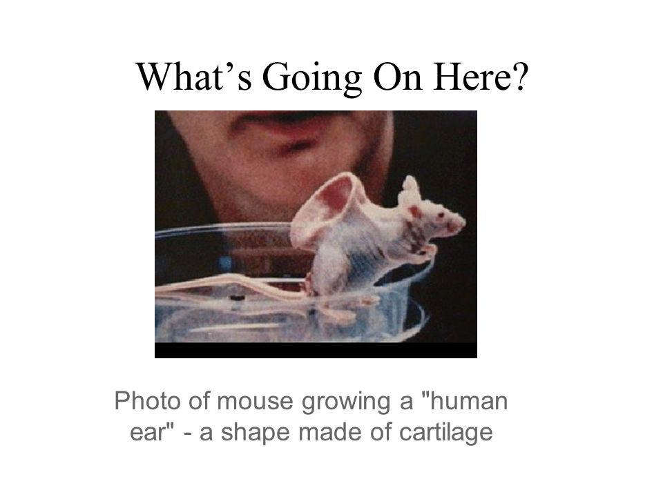 Photo of mouse growing a human ear - a shape made of cartilage