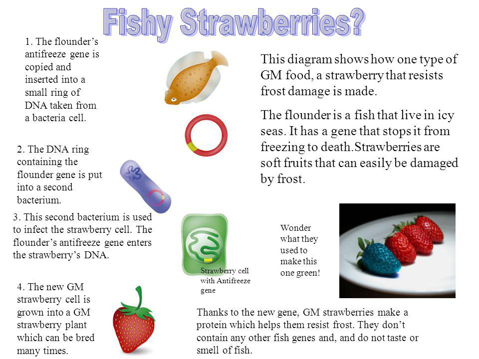Fishy Strawberries 1. The flounder's antifreeze gene is copied and inserted into a small ring of DNA taken from a bacteria cell.