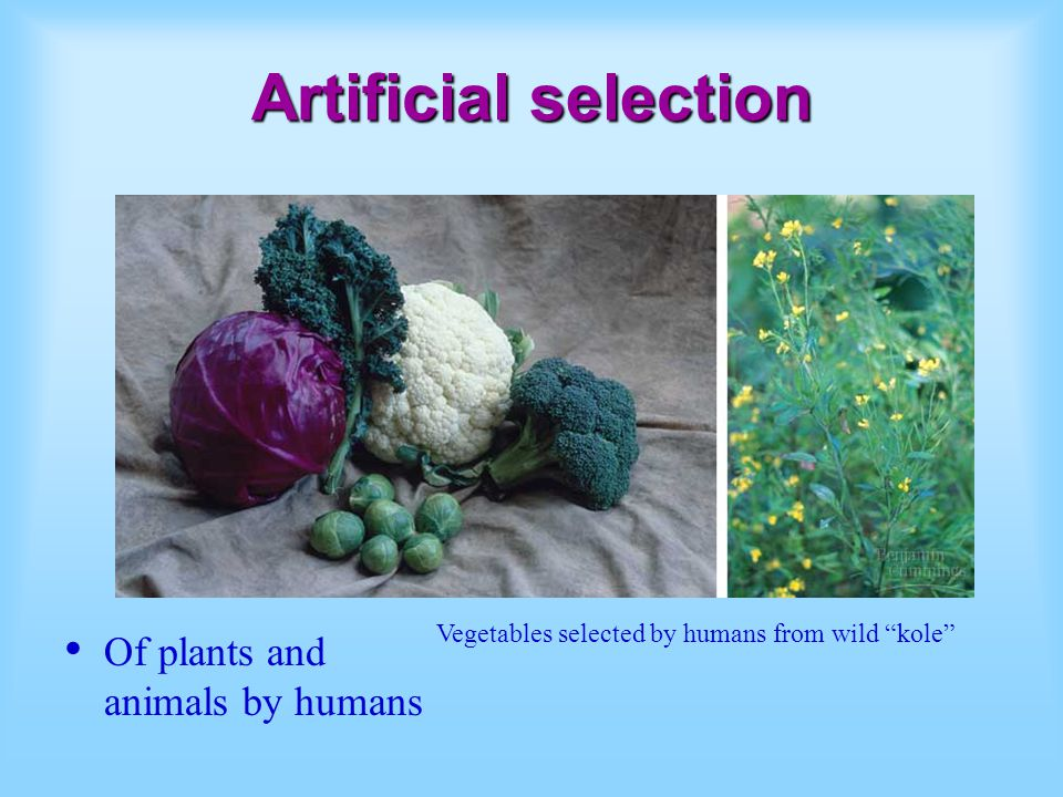 Artificial selection Of plants and animals by humans