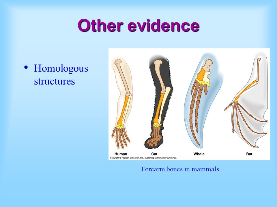 Other evidence Homologous structures Forearm bones in mammals