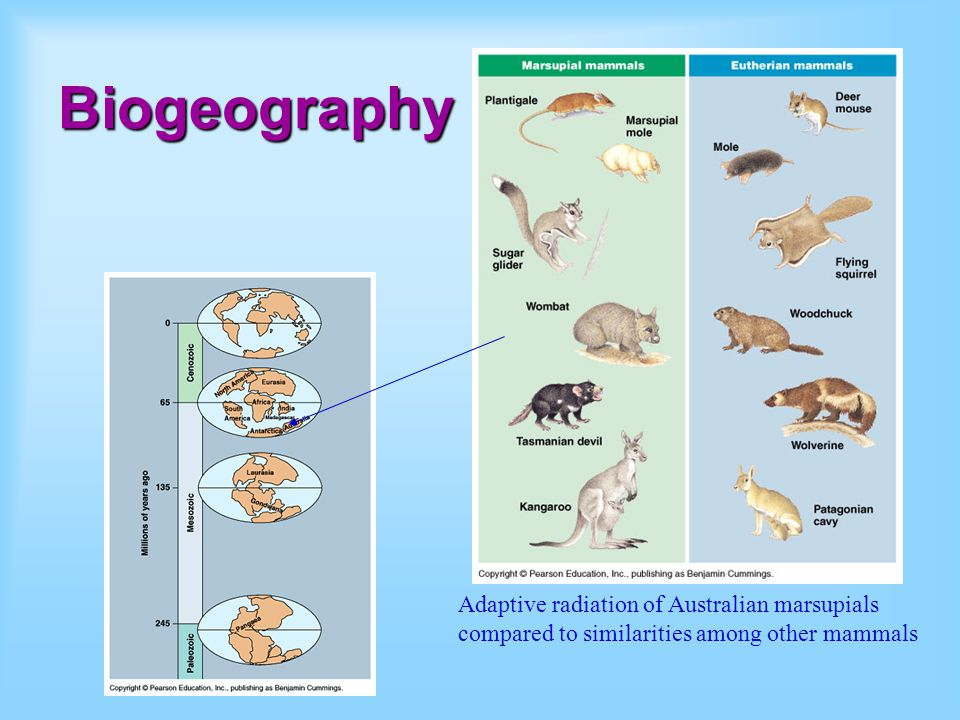 Biogeography Present day distribution of marsupials relates to what we know about locations of continents during continental drift.
