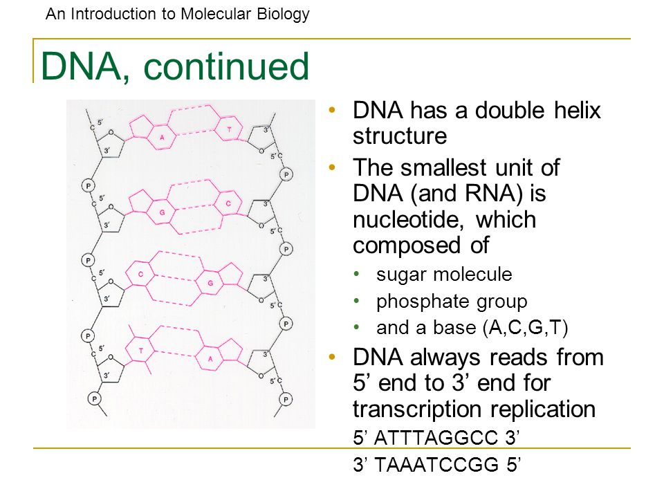 DNA, continued DNA has a double helix structure