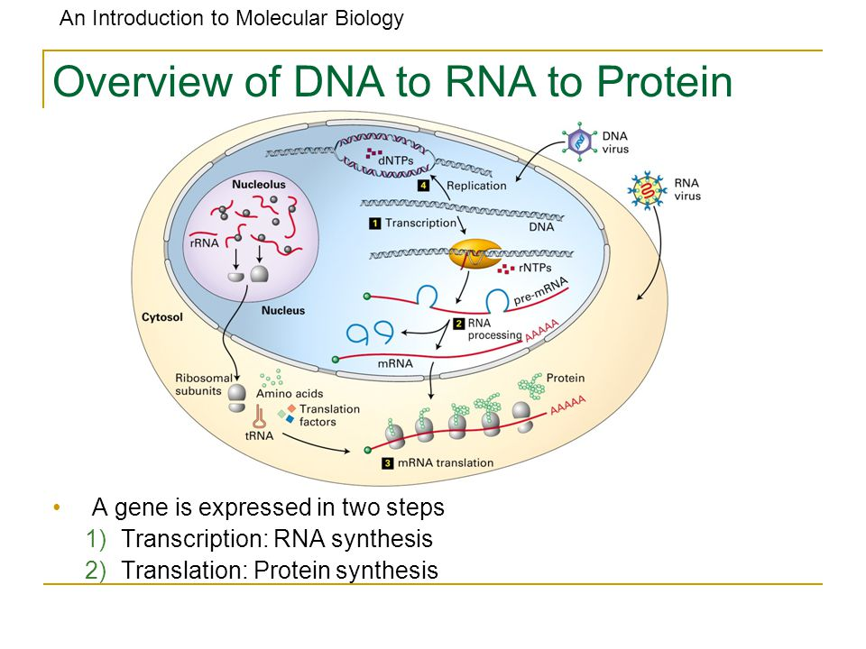 Overview of DNA to RNA to Protein