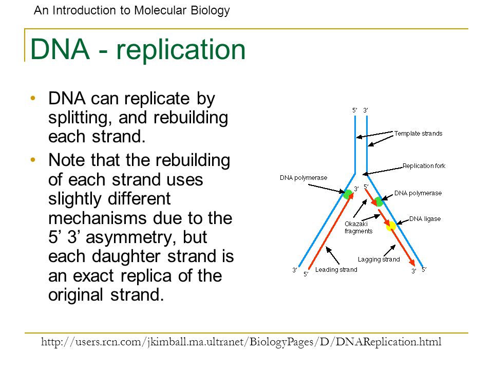 DNA - replication DNA can replicate by splitting, and rebuilding each strand.