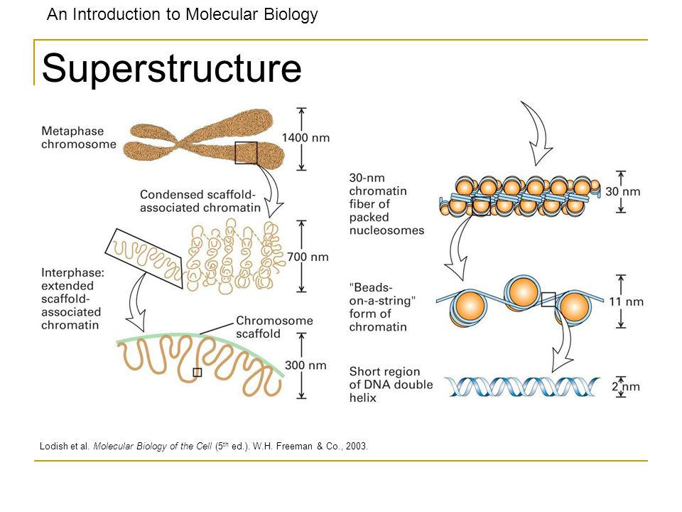 Superstructure Lodish et al. Molecular Biology of the Cell (5th ed.). W.H. Freeman & Co., 2003.