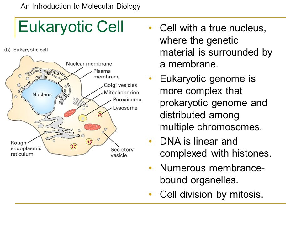 Eukaryotic Cell Cell with a true nucleus, where the genetic material is surrounded by a membrane.