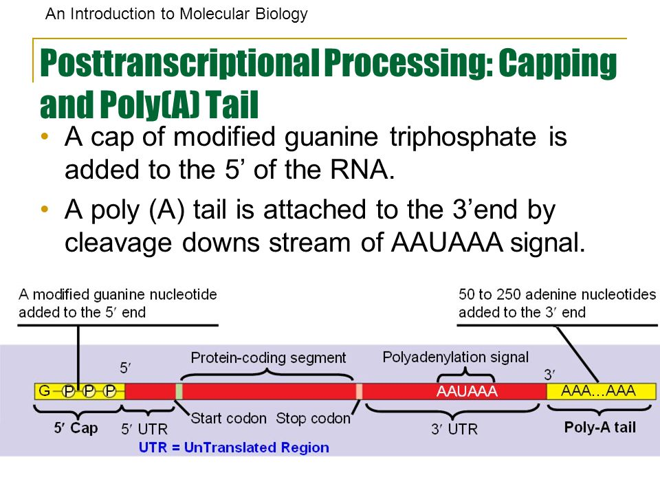 Posttranscriptional Processing: Capping and Poly(A) Tail