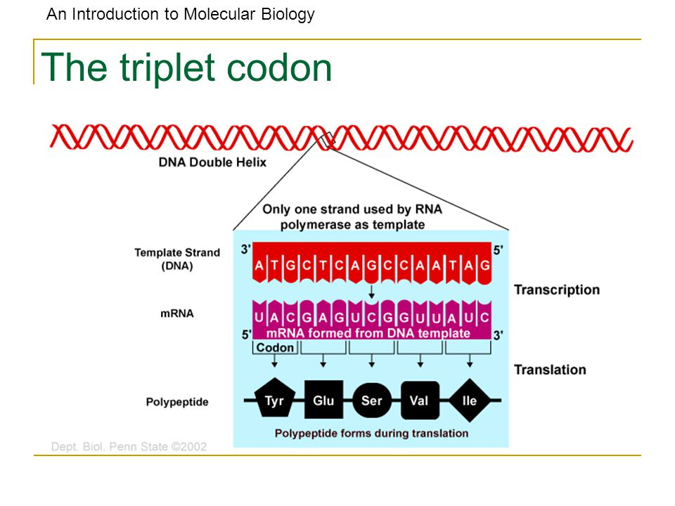 The triplet codon