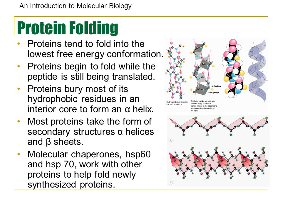 Protein Folding Proteins tend to fold into the lowest free energy conformation. Proteins begin to fold while the peptide is still being translated.