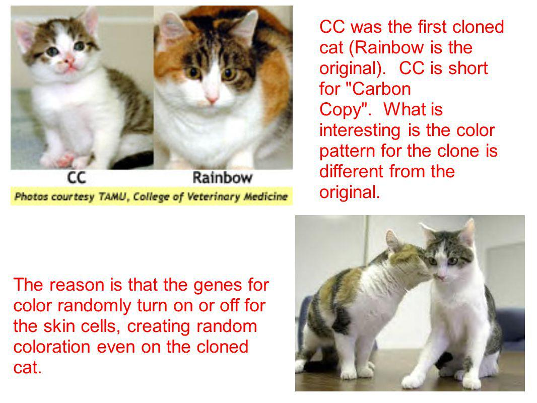 CC was the first cloned cat (Rainbow is the original)