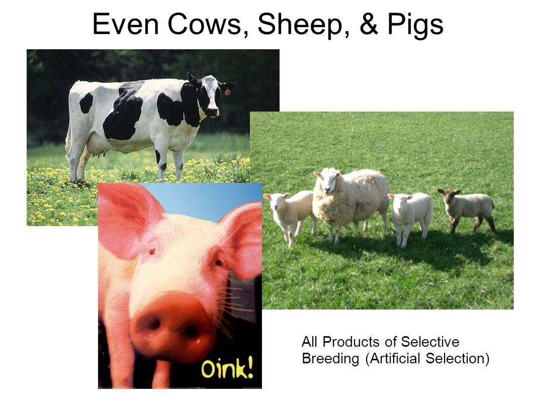 Even Cows, Sheep, & Pigs All Products of Selective Breeding (Artificial Selection)