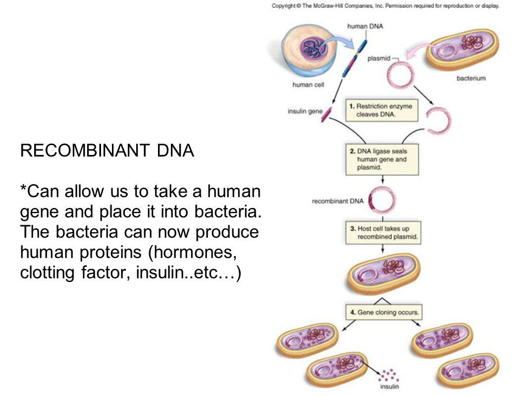RECOMBINANT DNA *Can allow us to take a human gene and place it into bacteria.
