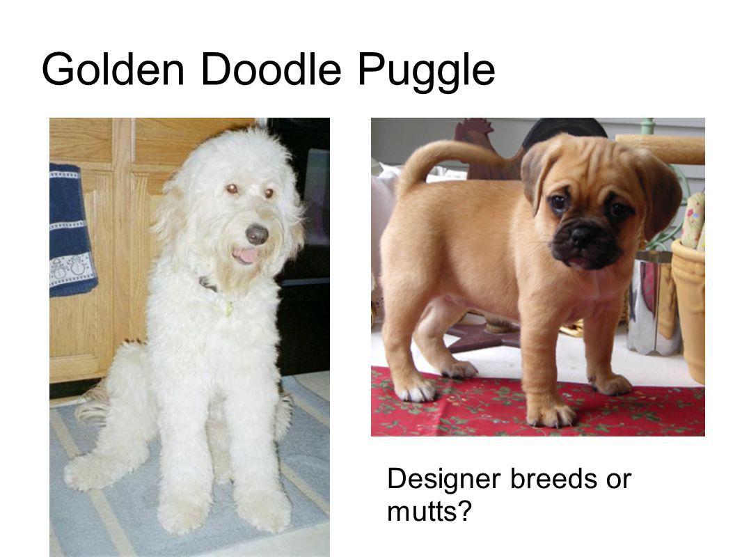 Golden Doodle Puggle Designer breeds or mutts