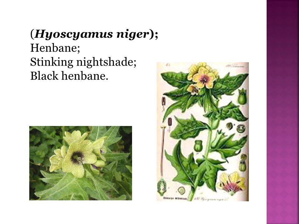 (Hyoscyamus niger); Henbane; Stinking nightshade; Black henbane.