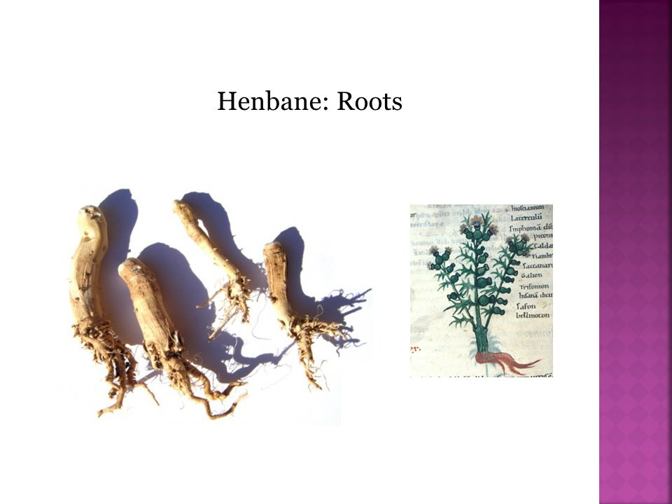 Henbane: Roots