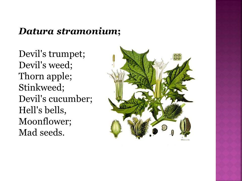 Datura stramonium; Devil s trumpet; Devil s weed; Thorn apple; Stinkweed; Devil s cucumber; Hell s bells,