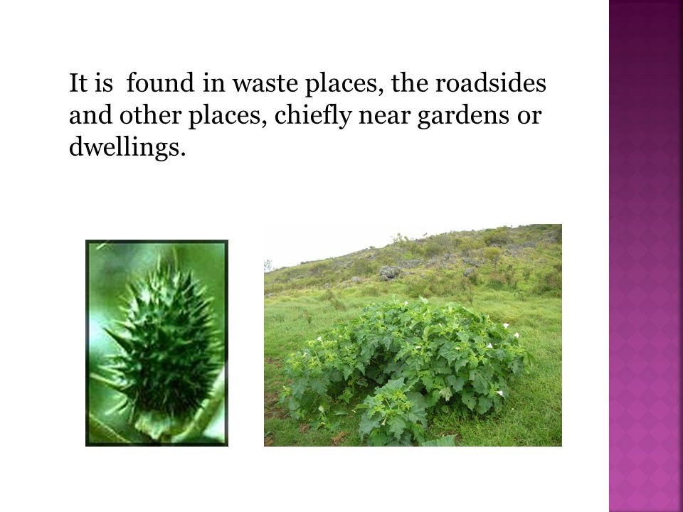 It is found in waste places, the roadsides and other places, chiefly near gardens or dwellings.