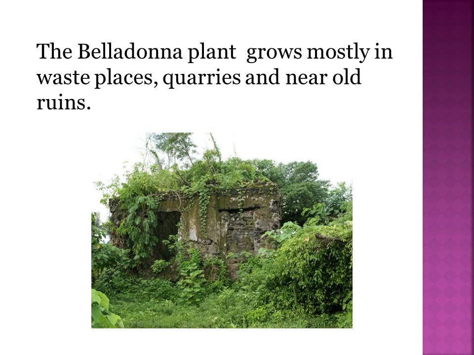 The Belladonna plant grows mostly in waste places, quarries and near old ruins.