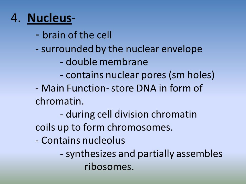 4. Nucleus-. - brain of the cell. - surrounded by the nuclear envelope