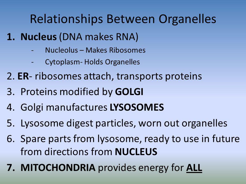 Relationships Between Organelles