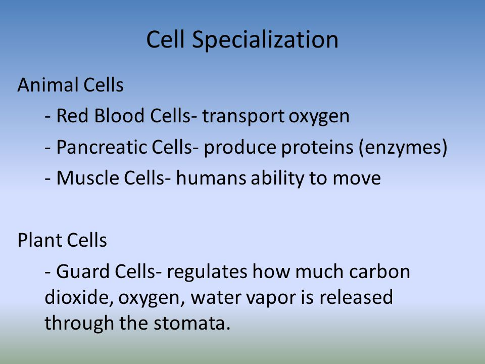 Cell Specialization Animal Cells - Red Blood Cells- transport oxygen