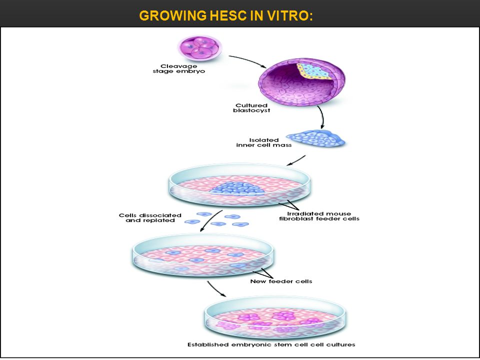 GROWING HESC IN VITRO: