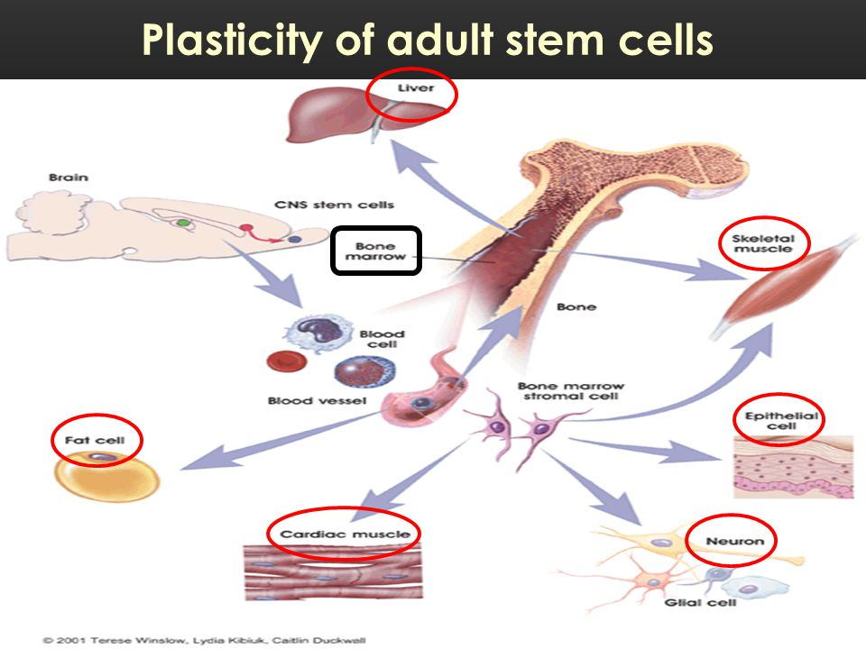 Plasticity of adult stem cells