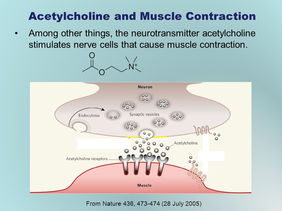 Acetylcholine and Muscle Contraction