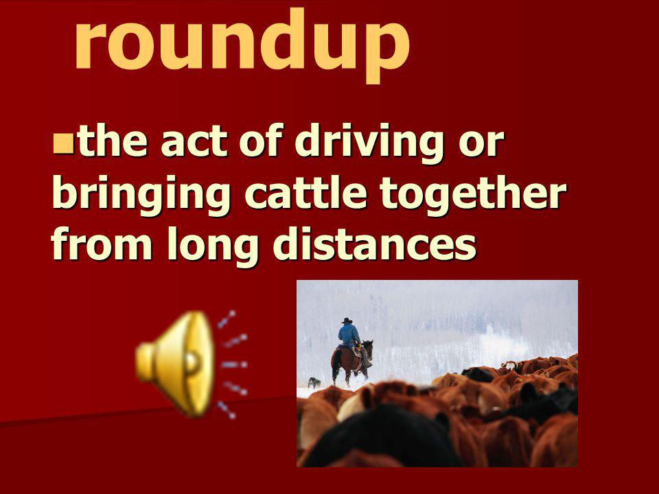 the act of driving or bringing cattle together from long distances