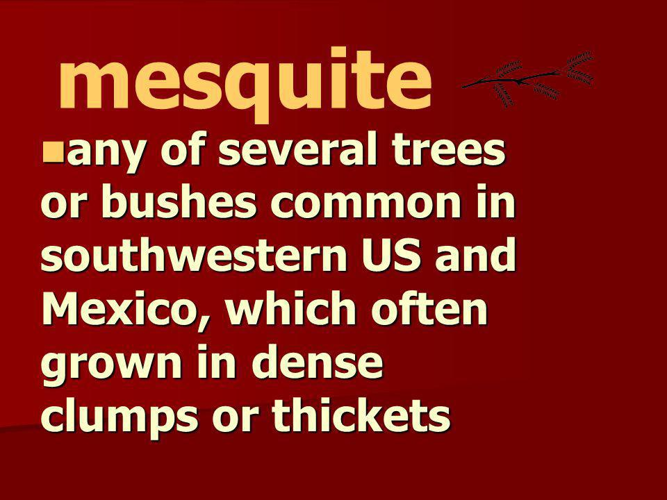 mesquite any of several trees or bushes common in southwestern US and Mexico, which often grown in dense clumps or thickets.