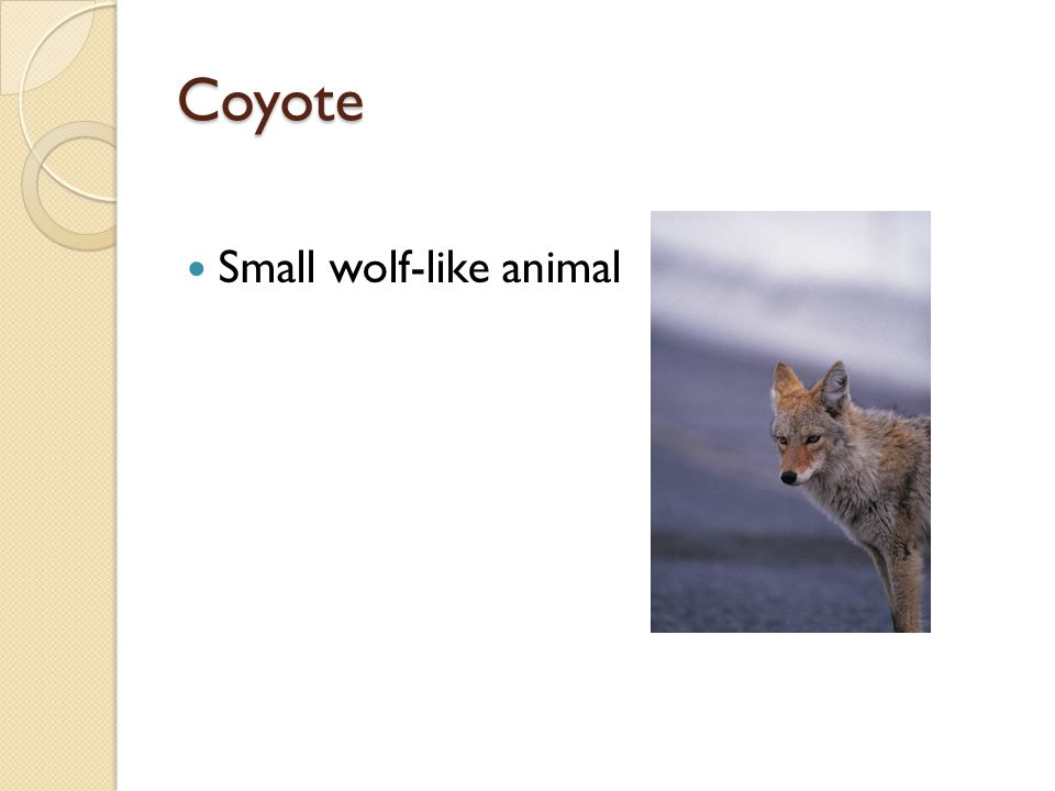 Coyote Small wolf-like animal